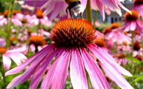 Картинка цветы, природа, лепестки, насекомое, шмель, эхинацея