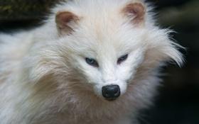 Обои белый, морда, енот, голубые глаза, ©Tambako The Jaguar