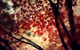 Обои autumn, red, leaves, leaf, trees