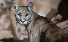 Картинка кугуар, горный лев, морда, пума, дикая кошка, хищник
