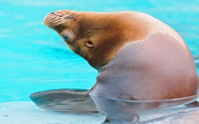 Обои морской лев, вода, Sea lion