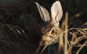Картинка трава, заяц, колоски
