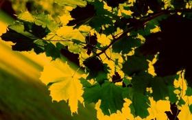 Обои природа, листья, красивые обои для рабочего стола, макро, фото