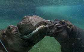 Обои animals, hippo, san diego zoo