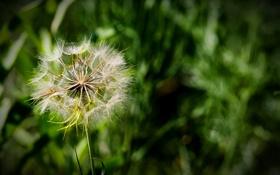 Обои трава, природа, одуванчик