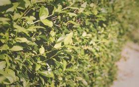 Обои листья, зелень, лето, куст