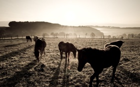 Обои поле, фото, фон, обои, лошади, Пастбище