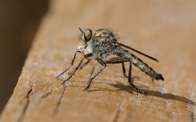Обои природа, насекомое, макро, комар