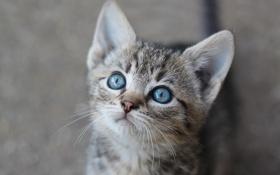 Обои мордочка, котёнок, голубые глаза