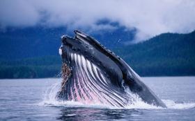 Обои океан, кит, пасть