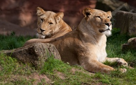 Обои кошка, трава, камень, львы, львица
