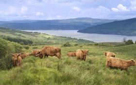 Обои озеро, коровы, Шотландия, пастбище, высокогорье