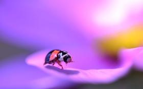 Обои насекомое, жук, лепестки, цветок