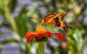 Обои крупный план, бабочка, цветок