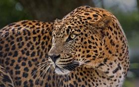 Обои пятна, дикая кошка, профиль, настороженность, хищник, леопард