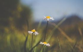 Картинка цветок, цветы, фон, widescreen, обои, ромашки, размытие