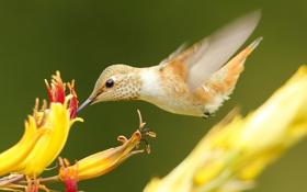 Обои цветок, птица, клюв, колибри
