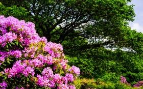 Обои кустарники, деревья, природа, цветы