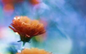 Обои макро, ораньжевые, боке, колендула, цветы