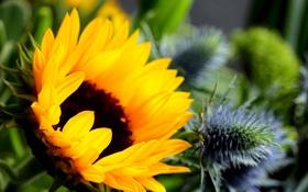 Обои цветок, подсолнух, flower, sunflower