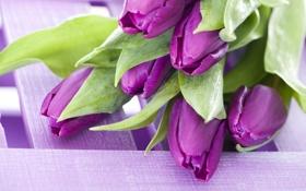 Обои фиолетовый, букет, тюльпаны, цветы