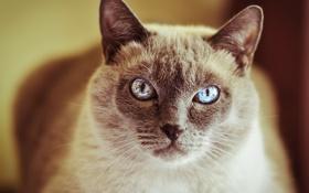 Картинка кот, глаза, кошка, шерсть, усы