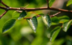 Картинка зелень, листья, вода, капли, макро, природа, фото