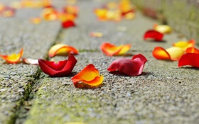 Обои грусть, роза, лепестки