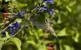 Обои полет, цветы, птица, колибри, солнечно, синие