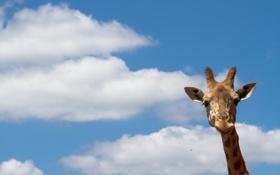 Картинка природа, жираф, небо