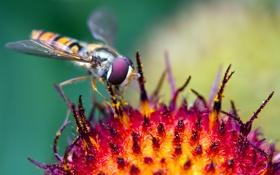Обои macro, цветок, насекомое, hoverfly, журчалка