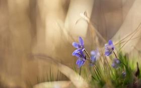Картинка цветы, природа, фиалки