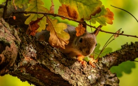Обои листья, белка, ветка, дуб, дерево