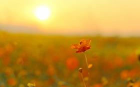 Обои поле, цветок, солнце, цветы, космея