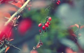 Обои растение, ветка, ягода, шиповник, плод, blur