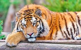 Обои взгляд, морда, тигр, отдых, лапа, лежит, большая кошка