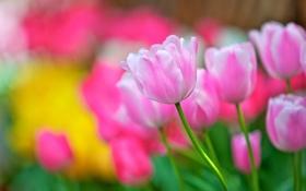 Обои цветы, лепестки, тюльпаны