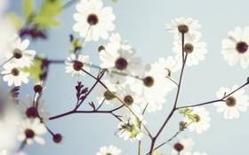Обои цветок, ромашка, лепесток, цветы