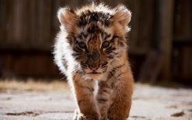 Картинка тигр, котёнок, тигрёнок