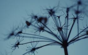 Картинка небо, растение, вечер, сухой, соцветие