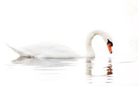 Картинка вода, озеро, белый фон, лебедь, water, lake, Swan