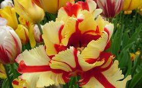 Обои Макро, тюльпаны, пестрые