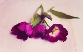 Обои природа, фон, тюльпаны