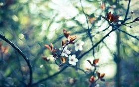 Картинка макро, цветы, вишня, блики, ветви, весна, размытость