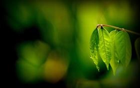 Картинка листья, макро, зеленый, фон, widescreen, обои, размытие