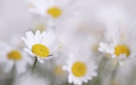 Картинка макро, природа, растение, лепестки, ромашка