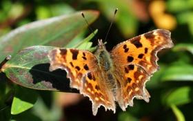Картинка фон, бабочка, листва, размытость, запятая