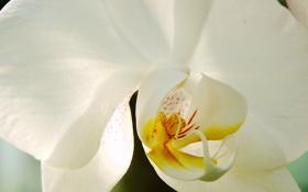 Картинка цветы, красота, белая, white, экзотика, орхидея, blossom