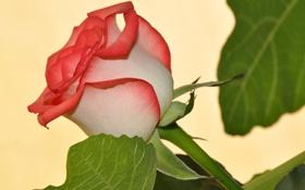 Обои листья, макро, роза, лепестки, бутон