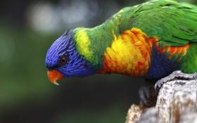 Обои птица, попугай, многоцветный лорикет